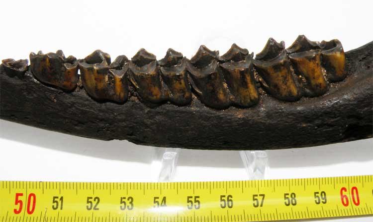 http://www.nuggetsfactory.com/EURO/mammifere/Odocoileus%20virginianus/26%20odocoileus%20c.jpg