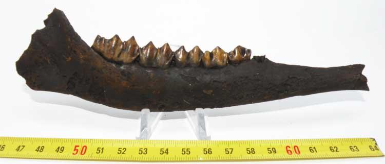 http://www.nuggetsfactory.com/EURO/mammifere/Odocoileus%20virginianus/26%20odocoileus.jpg
