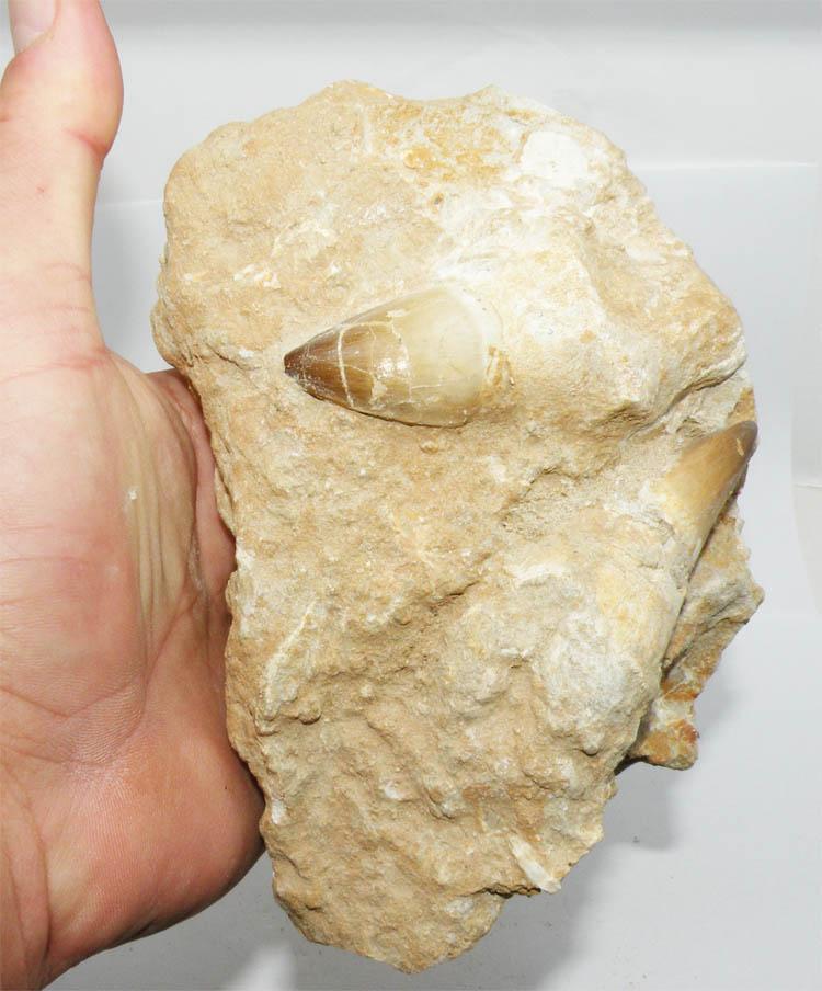https://www.nuggetsfactory.com/EURO/mammifere/Mosasaurus/119%20mosasaure%20dent%20b.jpg