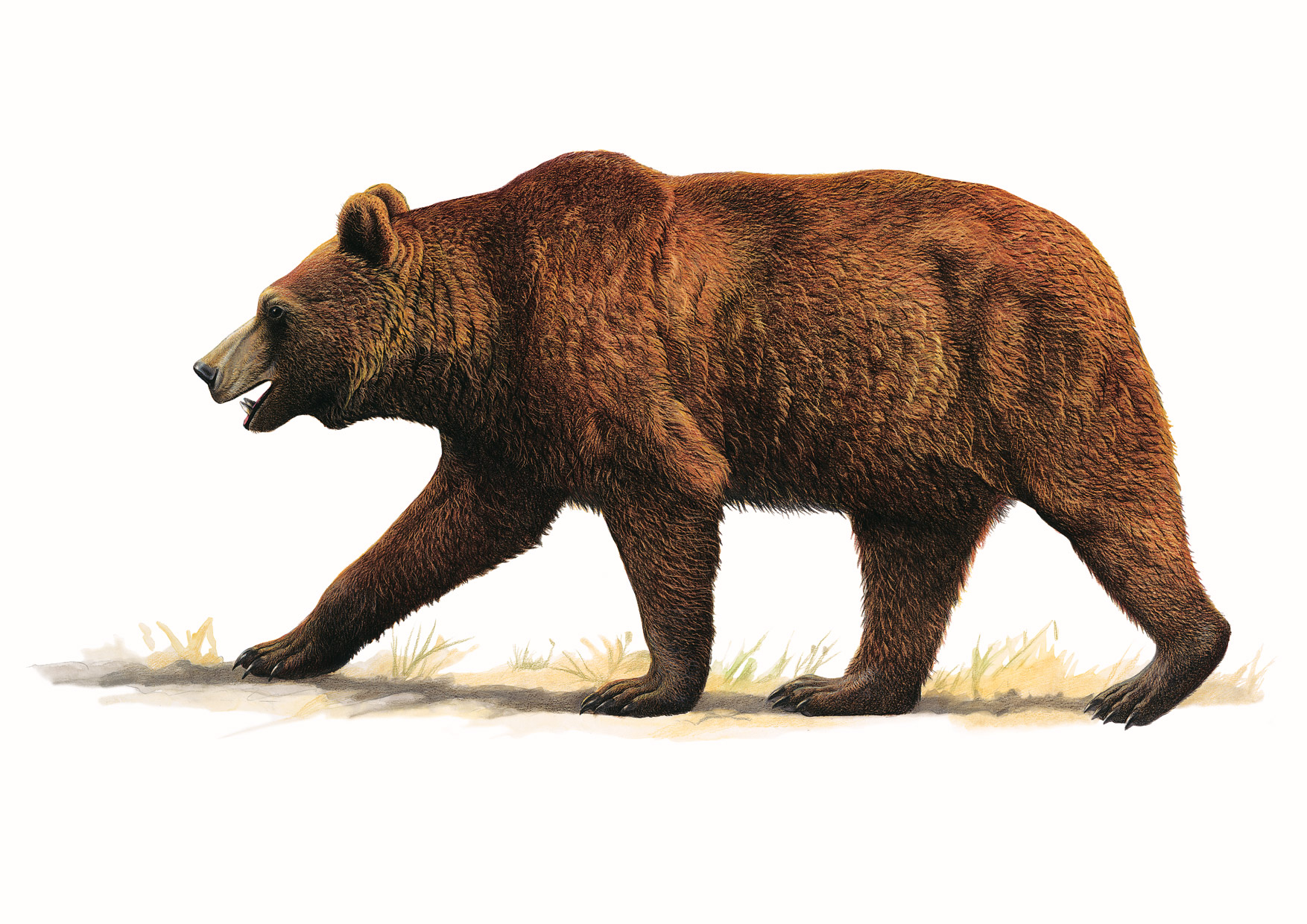 https://www.nuggetsfactory.com/EURO/mammifere/Ursus%20spelaeus/cave-bear%202.jpg