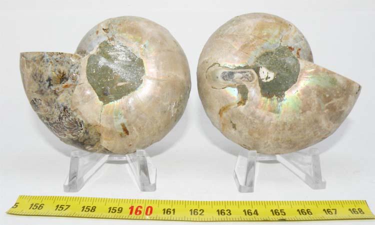 https://www.nuggetsfactory.com/EURO/mammifere/ammonite/21%20c.jpg