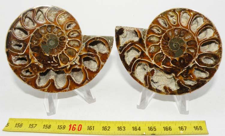 https://www.nuggetsfactory.com/EURO/mammifere/ammonite/21.jpg
