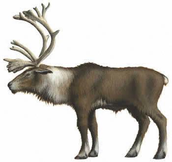 https://www.nuggetsfactory.com/EURO/mammifere/renne/Reindeer%20b.jpg