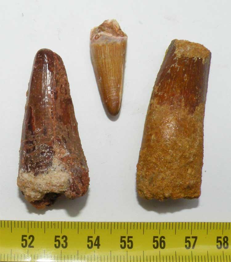 https://www.nuggetsfactory.com/EURO/mammifere/spinausaure/127%20spinosaure%20dent%20a.jpg